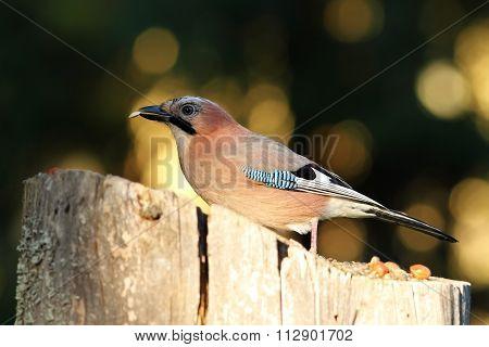 Jay Eating Seed At Birdfeeder
