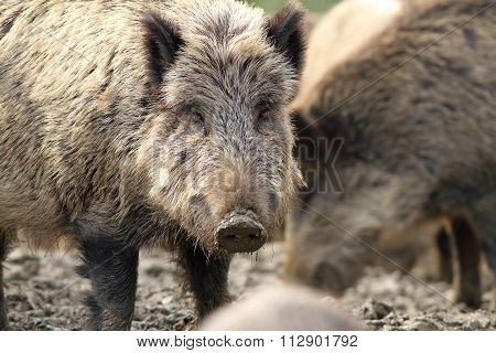 Portrait Of Curious Wild Hog