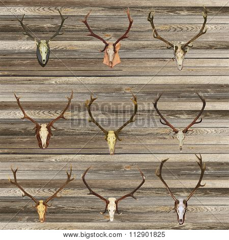 Red Deer Skulls On Wood Wall
