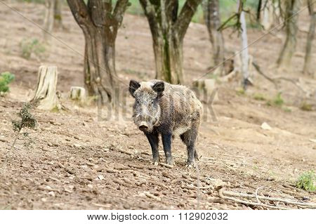 Wild Boar Near The Forest