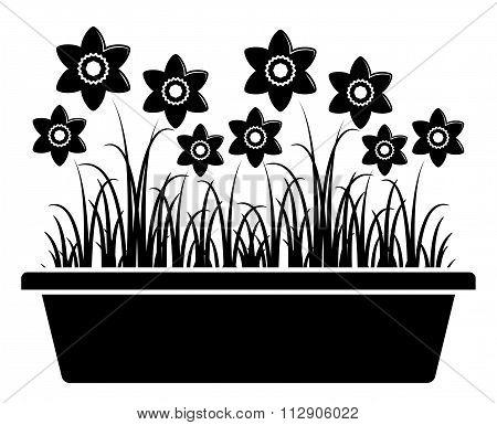 Daffodils In Planter