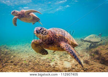 Endangered Hawaiian Green Sea Turtle