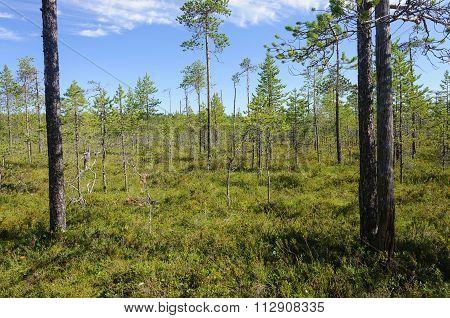 Pine Trees In Swampy Tundra, Karelia