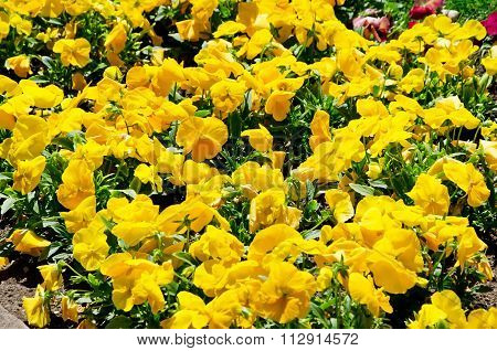 Beautiful Yellow Flowers In The Garden