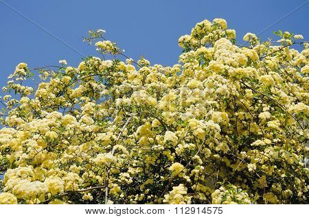 Beautiful Yellow Flowers On A Branch