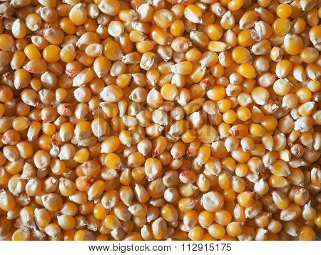 Pop Corn Maize