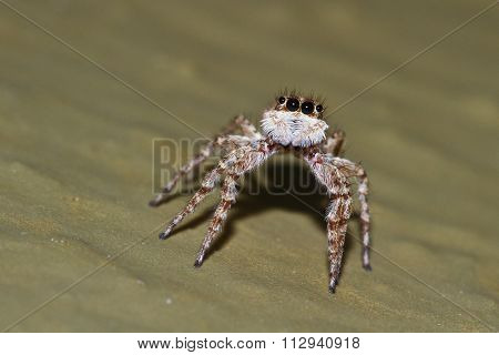Macaroeris Nidicolens Is A Species Of Jumping Spider That Occurs From Europe