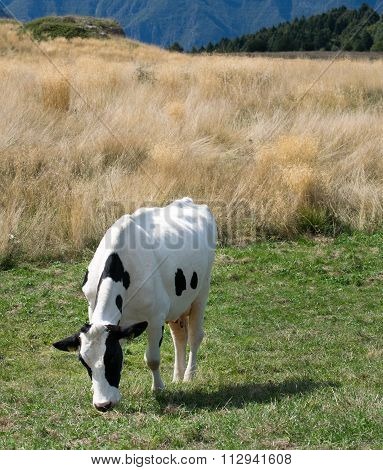 Cow Grazing On The Alps.