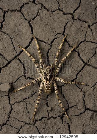 Deadly Danger Spider In Wasteland