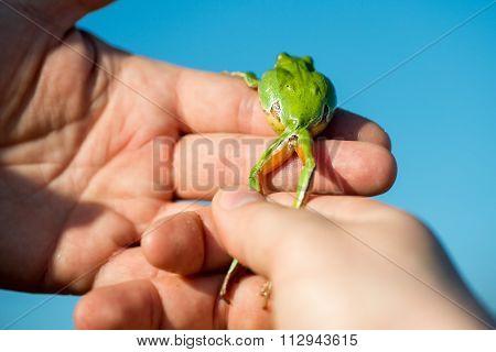 Footed Tree Frog - Hyla Arborea