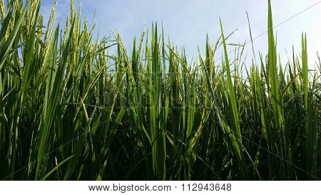 Low angle of rice paddy at a paddy field