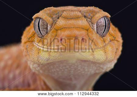Rough knob-tailed gecko (Nephrurus amyae)