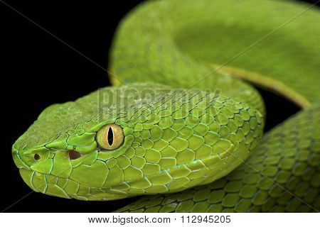 Gumprecht's green pitviper (Trimeresurus gumprechti )