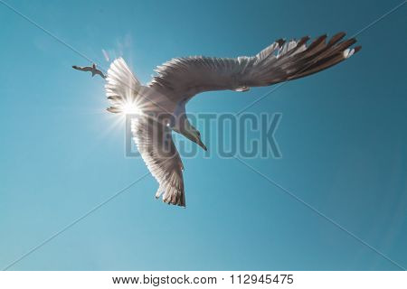 Seagull In Flight Wideangle