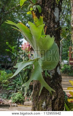 Platycerium On The Tree,staghorn Fern