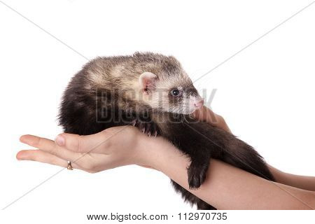 Polecat On A Hand