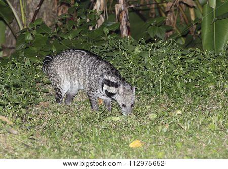 Nocturnal animals Viverra zibetha (Viverra zibetha) at Kaengkrajarn national park,Thailand