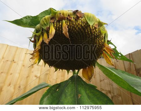Wilting Sunflower