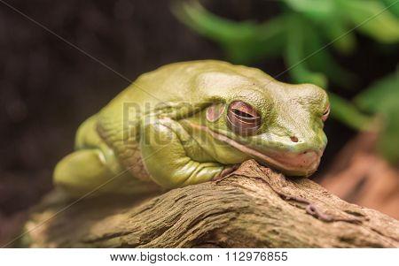 Litoria Caerulea, Australian Green Tree Frog Resting