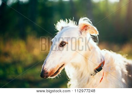 White Russian Sighthound dog, Russkaya Psovaya Borzaya, Psovoi