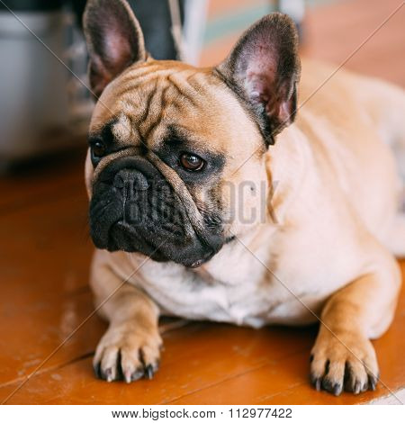 French Bulldog is small breed of domestic dog