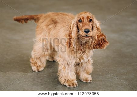 Brown English Cocker Spaniel Dog indoor.