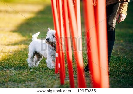 West highland white terrierdog doing agility - running slalom.