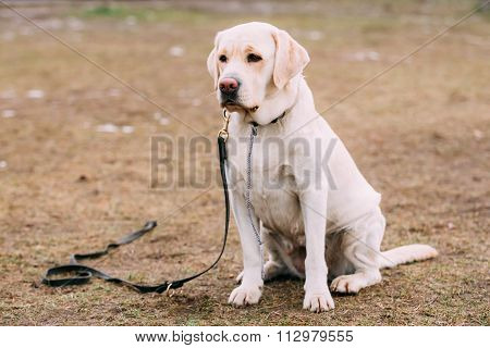 White Labrador Dog sit on ground during training