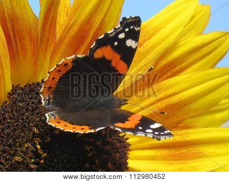 Red Admiral Butterfly on a Sunflower