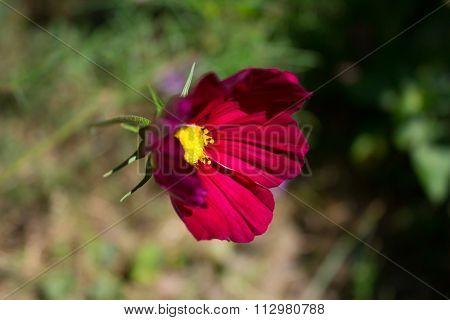 Beautiful Crimson Red Flower On Grass Background