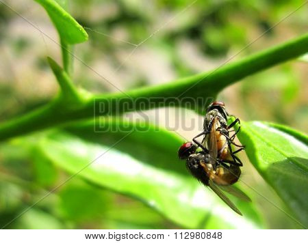 Macro photography of matting couple of house fly on lemon plant leaves