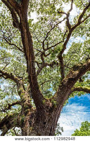 Ancient Saman Tree Rising Towards Sky