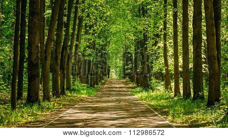 Walkway Lane Path With Green Trees in Forest. Pathway Way Throug