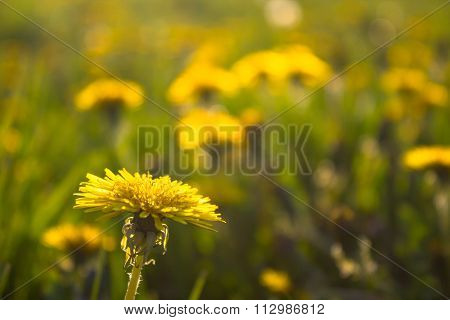 Green Grass Meadow With Dandelion Flowers