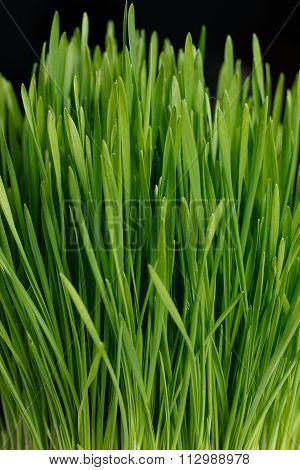 Fresh Green Wheat Grass