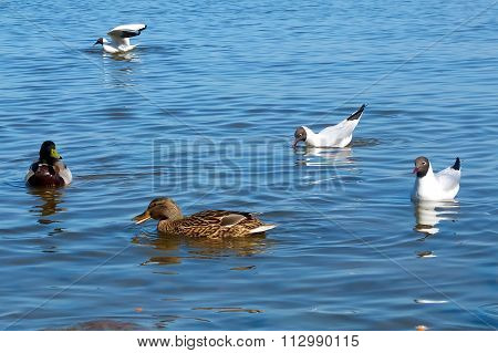 Ducks and gulls on the water. Sea birds.