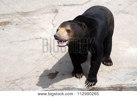 Himalayan bear.