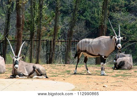 Common Oryx. Scimitar-horned antelope.