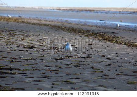 Herring gull walking