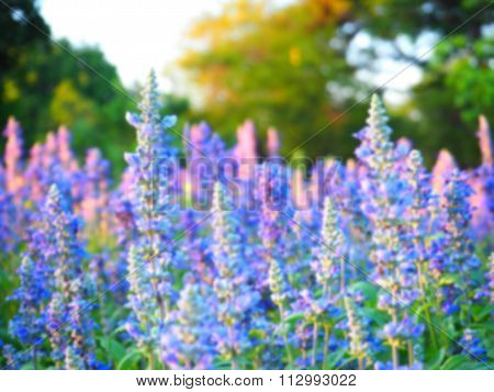 Blurry  Background Of Blue Salvias Flower At Sunset