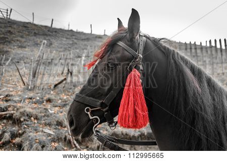 Close-up Picture Of A Horse. Horizontal View Of A Black Horse With Red Fringes..