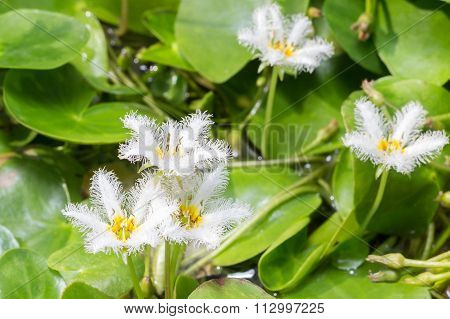 Water Snowflake Or Nymphoides Indica