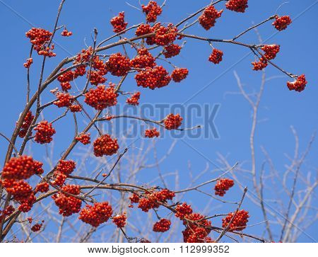 Rowan tree red bunches