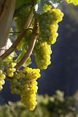 foto of grape-vine  - Grapes on a vine in the fall - JPG
