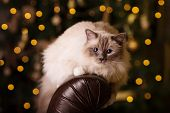 Cat. Christmans party, winter holidays cat with gift box. New year cat. christmas tree in interior b poster