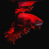 Постер, плакат: Betta Fish