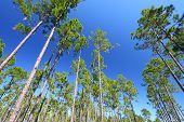 stock photo of saw-palmetto  - The beautiful pine flatwoods of Florida on a clear day - JPG