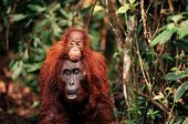 stock photo of funny animals  - The orangutan with a cub on a back - JPG