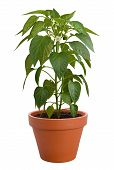 stock photo of pot plant  - Pepper Plant in a pot isolated on a white background - JPG