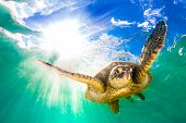 Постер, плакат: Endangered Hawaiian Green Sea Turtle